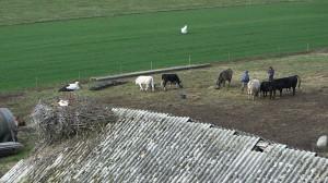 春農家と共生するシュバシコウ