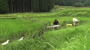 アイガモ農業