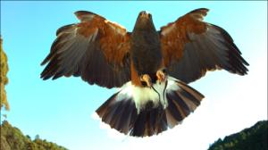 4.ハリスホークの尾羽